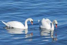 Резултат слика за swan bird images