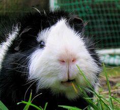 black and white guinea pig--too cute!