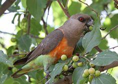 African Orange-bellied Parrot or Red-bellied Parrot (Poicephalus rufiventris) / Красногрудый длиннокрылый попугай