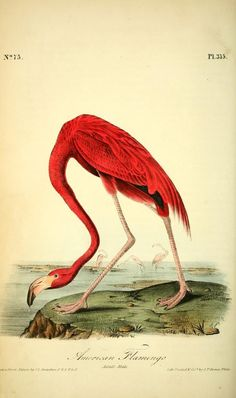 American Flamingo. The birds of America : from drawings made in the United States and their territories v.6. New York :J.B. Chevalier,1840-1844. biodiversitylibrary. Biodiversitylibrary. Biodivlibrary. BHL. Biodiversity Heritage Library
