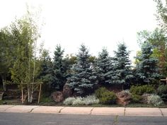 Staggered evergreens, ground cover, boulders. A densely planted berm. Spacing might be too tight: the trees may form a hedge at some point. #landscapeprivacy