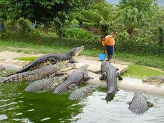 Pour vos visites en #Malaisie, ne ratez pas les parcs aux crocodiles. Il y en a au moins 3 grandes fermes incontournables. #voyage