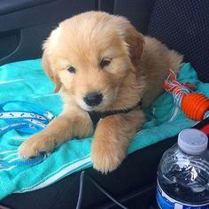 いいね!3,488件、コメント21件 ― I Love Golden Retrieversさん(@ilovegolden_retrievers)のInstagramアカウント: 「Cutest little passenger! @stuart_the_golden」