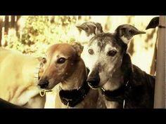 Beautiful 'adopt a greyhound month' video