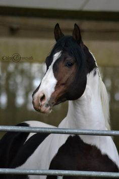 Sacred Assets, étalon paint horse homozygote de Montigny Paint Horse