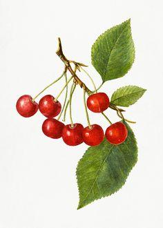 Apple Illustration, Botanical Illustration, Nightingale Bird, Cherry Fruit, Green Grapes, Watercolor Leaves, Free Illustrations, Bottle Crafts, Vintage Images