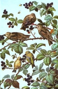starlings eating blackberries ladybird illustration. ladybirdprints.com