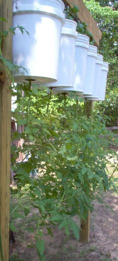Growing tomatoes upside down. Visit www.gardeningnut.com for more awesome garden ideas and tip