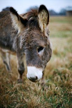 adorable donkey Lazy 5 Ranch. 35mm, Minoltax-700