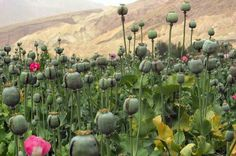 Which country is the world's largest opium producer? Afghanistan ? Turkmenistan ? Pakistan ? Brunei ? Indonesia ? Answer: (on site)