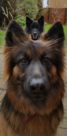 German Shepherds Everything you want to know about GSDs. Health and beauty recommendations. Funny videos and more #germanshepherd