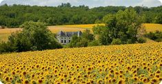 Scenery - Amazing sunflowers in the Poitou-Charente where I now live!