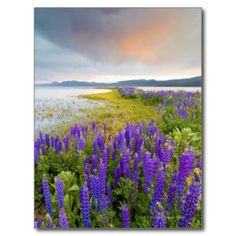 >>>This Deals          A field of Lupine wildflowers on the North Shore Post Card           A field of Lupine wildflowers on the North Shore Post Card We provide you all shopping site and all informations in our go to store link. You will see low prices onReview          A field of Lupine w...Cleck Hot Deals >>> http://www.zazzle.com/a_field_of_lupine_wildflowers_on_the_north_shore_postcard-239214982052545312?rf=238627982471231924&zbar=1&tc=terrest