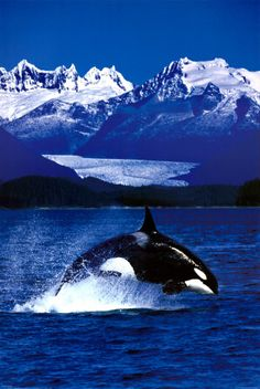 in my opinion, orcas/killer whales are the most beautiful creatures on earth