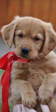 Labrador Retriever, Pets, Animals, Pet Dogs, Labrador Retrievers, Animales, Animaux, Animal, Animais