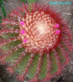 Turks Cap Cactus Melocactus intortus