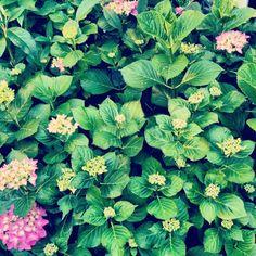 Hydrangeas in our garden