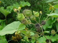VelvetLeaf  Seeds (Abutilon theophrasti Medik ) Known as: Indian Mallow, Butterprint, Velvet Weed, Indian Hemp, Cotton-Weed, Buttonweed.