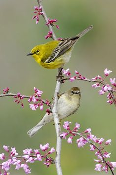 Pine Warbler (male and female) sweet little birds. All Birds, Little Birds, Love Birds, Pretty Birds, Beautiful Birds, Animals Beautiful, Exotic Birds, Colorful Birds, Mundo Animal