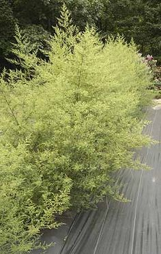 Can grow to in one year. Used in wreaths, stimulant, used to combat malaria and now cancer (drying herbs and flowers) Garden Trellis, Garden Plants, Orchids Garden, Fruit Garden, House Plants, Artemisia Annua, Sweet Annie, Hillside Landscaping, Herb Seeds