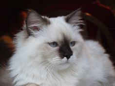 Chocolate Mitted Ragdoll Cat