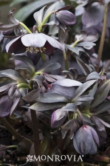 Monrovia's Winter Jewels® Blue Diamond Lenten Rose details and information. Learn more about Monrovia plants and best practices for best possible plant performance.
