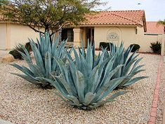 Also called: Agave, Maguey, American Aloe. Century Plant, A Landscaping Near Me, Outdoor Landscaping, Landscaping Plants, Outdoor Gardens, Landscaping Software, Landscaping Ideas, Backyard Ideas, Big Leaf Plants, Townhouse Garden