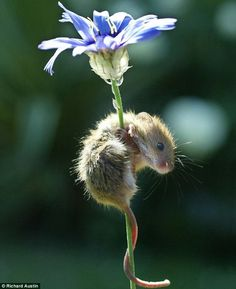 little mousie climbing a flower.  I love how they curl their tails around things to hold on.