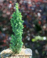 'Ellwood's Pillar' variety of Chamaecyparis lawsoniana for Miniature Gardens - This particular dwarf columnar variety of 'Port Orford Cedar' is a wonderful accent for small scale gardens with dense growth in a narrow upright column resembling Italian Cypress in a scale form - will keep its small stature for many years in containers or small scale gardens - via About.com miniatures