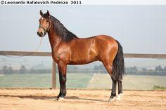 Lusitano - stallion Delegado Interagro