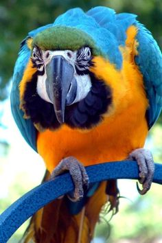 Blue & Gold Macaw...I own one, his name is Jay Jay and he is 30 years old. Talks all the time.