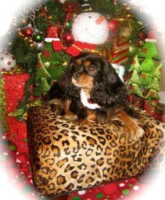 CKCS King Charles Spaniel, Cavalier King Charles, Spaniels, Christmas, Animals, Black, Xmas, Animales, Animaux