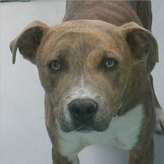*ASIA-ID#A712986  Shelter staff named me ASIA.  I am a male, brown brindle and white Pit Bull Terrier.  The shelter staff think I am about 8 months old.  I have been at the shelter since Apr 30, 2013.