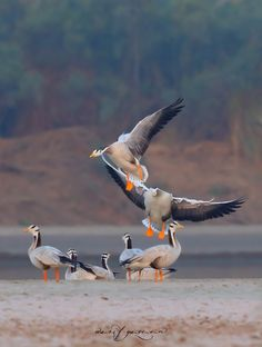 "Bar Headed Goose - The bar-headed goose is one of the world's highest-flying birds, having been heard flying across Mount Makalu – the fifth highest mountain on earth at 8,481 m (27,825 ft) – and apparently seen over Mount Everest – 8,848 m (29,029 ft) – although this is a second-hand report with no verification. This demanding migration has long puzzled physiologists and naturalists: ""there must be a good explanation for why the birds fly to the extreme altitudes... particularly since…"
