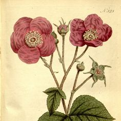 Vintage print Nature Botanical art Flower print by mapsandposters
