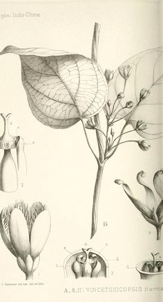 Botanical - Black and white - Leaf - educational plate 2