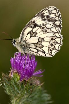 Checkered butterfly, 30 the most beautiful butterflies