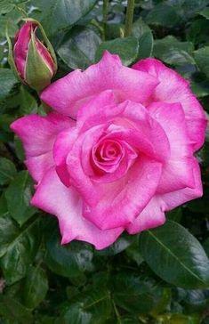 #rosegardening