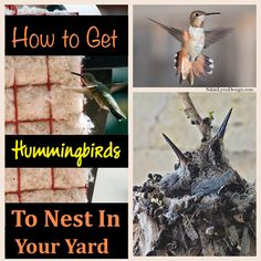 How to Get Hummingbirds To Nest by You Want to see more hummingbirds around your yard? You need to provide two sources, food and nesting materials.