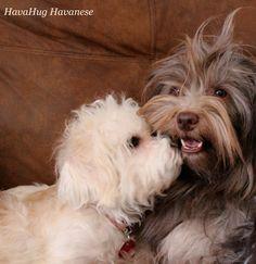 The cutest havanese puppies. Havanese Puppies For Sale, Havanese Dogs, Maltese, Cute Baby Animals, Poodle, Cute Babies, Photo Galleries, Wildlife, Gallery