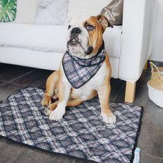 Blog canin par Junior. Mode santé concours tests chiens bulldog anglais. Unanglaisdanslaville le blog de Juniorbulldog