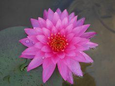 https://flic.kr/p/MhDra3 | Nymphaea 'Siam Beauty' Hardy Waterlilies 1 | สยามบิวตี้ บัวฝรั่งสัญชาติไทย