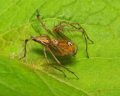 Lynx Spider (Oxyopes sp., Oxyopidae)