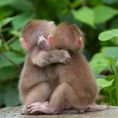 Two baby Japanese Macaques  ♥   The Japanese Macaque is a very intelligent species. It is the only animal other than humans and raccoons that is known to wash its food before eating it.