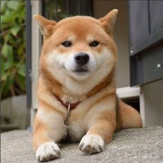 Shiba Inu Ryuji is wondering when his snacks are coming!