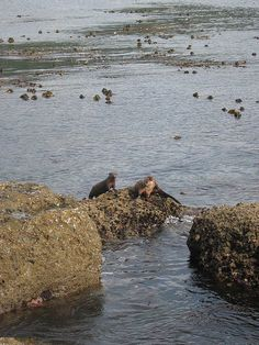 West Coast Trail - Sea Otters