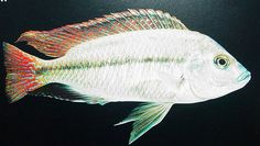 haplochromis labridens.jpg | Flickr - Photo Sharing!