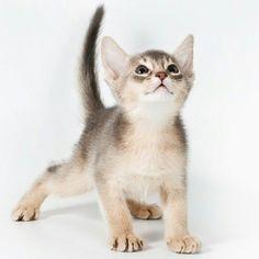 @abyssia_abyssinian_cattery #catstocker by... Follow us on Instagram :D #cats #cat #catlover #lovecats #funny #fun #cute #socute #feline #felines #felinefriend #fur #furry #paw #paws #kitten #kitty #kittens #kittycat #kittylove #fluffy #fluff
