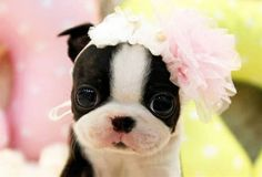 How can you not love this face. Boston Terrier love all the way! Makes me want a dozen!
