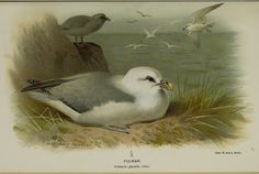 Fulmar - Coloured figures of the birds of the British Islands A Thorburn